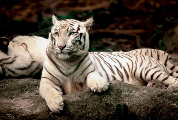 Jigsaw Puzzle - 1500 Pieces - Bengal Tiger